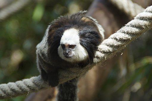 Monkey, äffchen, Capuchin, Capuchins, Zoo, Rope, Climb