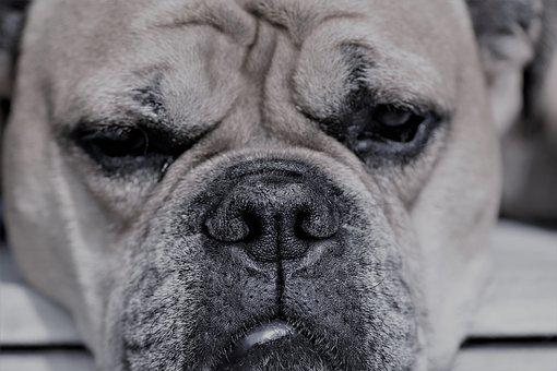Continental Bulldog, Animal, Dog, Pet