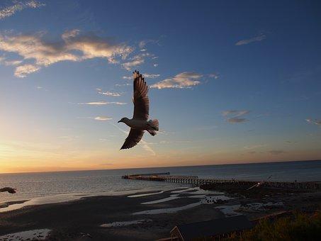 Seagull, Flying, Gull, Seabird, Bird, Flight, Sunset