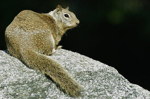 Squirrel, Rock, Wild