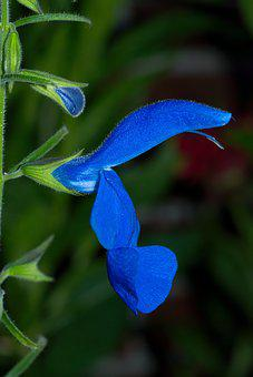 Blossom, Bloom, Macro, Flower, Blue, Close, Plant