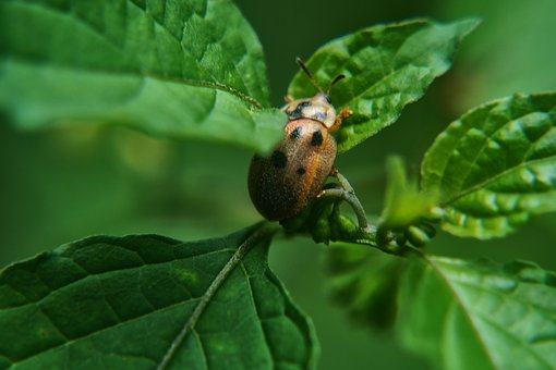 Beetle, Ladybug, Leaves, Garden, Bugs, El Salvador