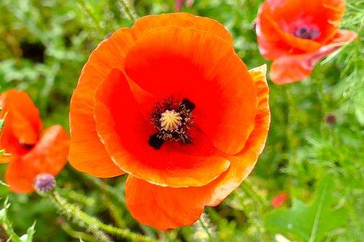 Poppy, Flower, Close, Red, Macro, Blossom, Bloom