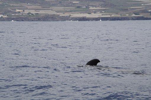 Pilot Whale, Dolphin, Pilotwal, Sea, Ocean