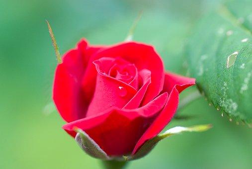 Rose, Red, Rose Blooms, Flower, Blossom, Bloom