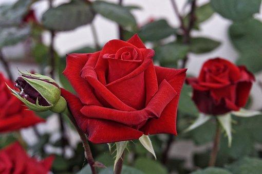 Garden, Rose, Flower, Nature, Red, Love, Romance