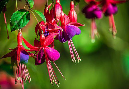 Fuchsias, Flower, Fuchsia, Shrub, Green, Pink, Magenta