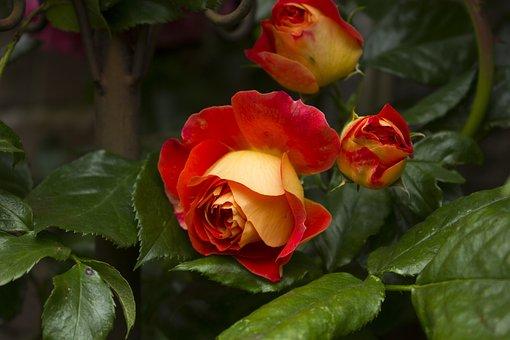Rose, Flower, Nature, Garden, Rose Blooms, Blossom