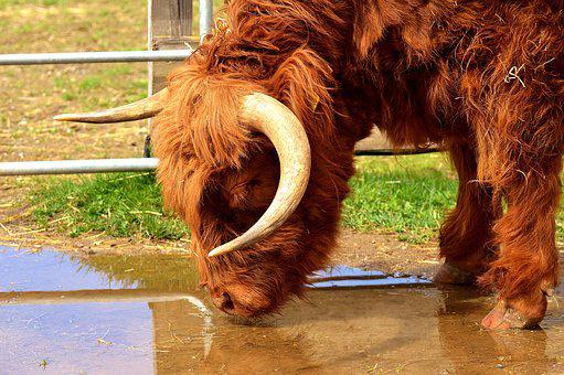 Highland Beef, Drink, Water, Head, Farm Animal, Snout