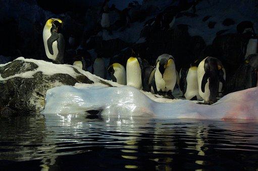 Penguins, Ice Floe, Zoo, Loropark, Loro Park, Tenerife