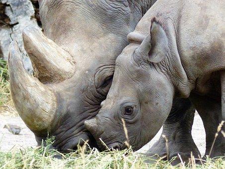 Rhino, Black Rhino, Magdeburg, Zoo