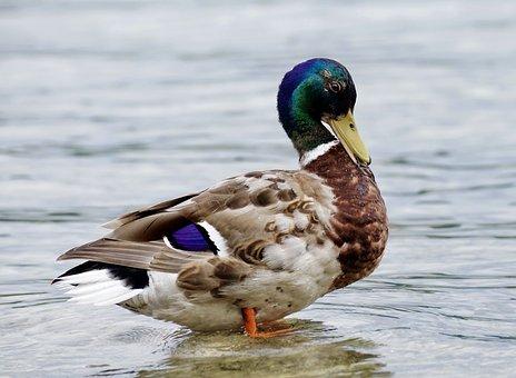 Duck, Drake, Water Bird, Nature, Mallard, Plumage, Lake