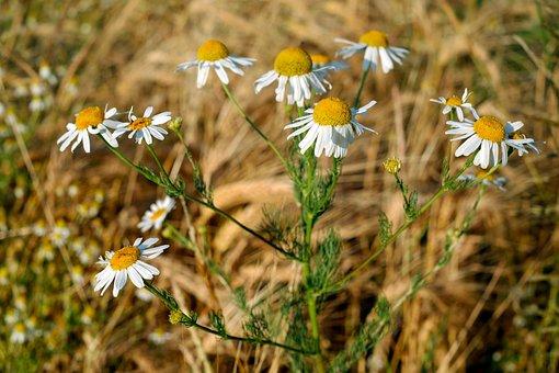 Chamomile, Medicinal Herb, Medicinal Plant, Naturopathy