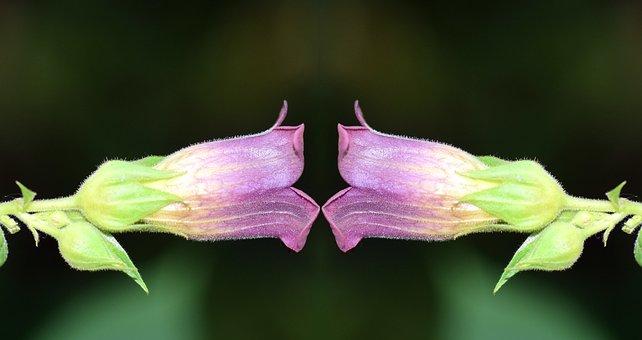 Belladonna, Nature, Toxic, Plant, Flora