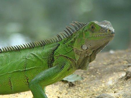 Iguana, Nature, Reptile, Park, Lake