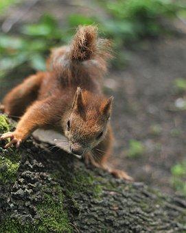 The Squirrel, Park, Kita, Ruda, Animal, Rodent, Animals