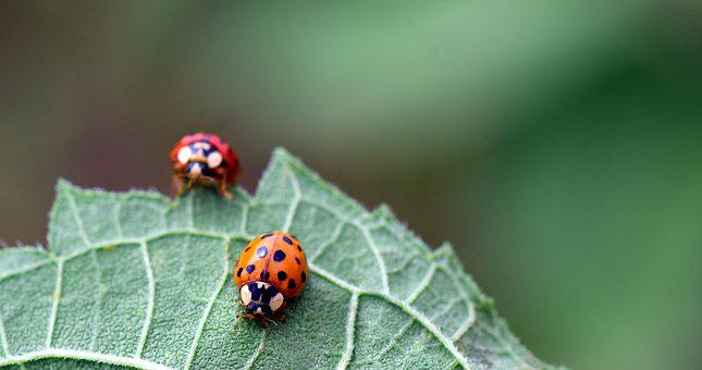 Ladybug, Beetle, Nature, Insect, Lucky Charm, Red