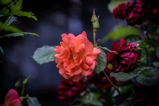Nice, Flower, Red, Garden