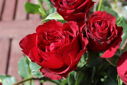 Roses, Red, Love, Red Roses, Flower, Romance, Red Rose