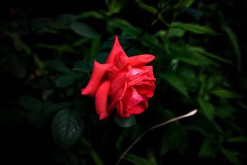 Red, Flower, Rose