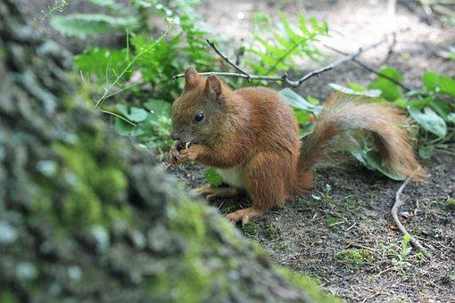 The Squirrel, Park, Kita, Ruda, Walnut, Animal, Tail