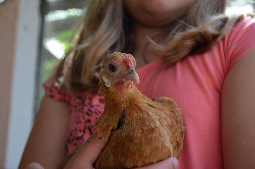 Chicken, Brown, Poultry, Trustful, Hen, Farm