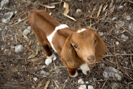 Goat, Kid, Animal, Nature, Farm, Sheep, Lamb