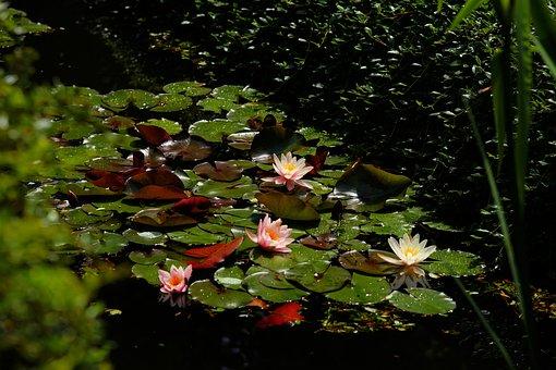 Water Lilies, Pond, Tender, Flowers, Aquatic Plant