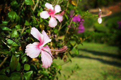 Chiang Rai, Thailand, Nature, Tree, Plant, Blossom