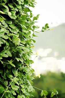Creepers, Leaves, Climbers, Plants, Trees, Flowers