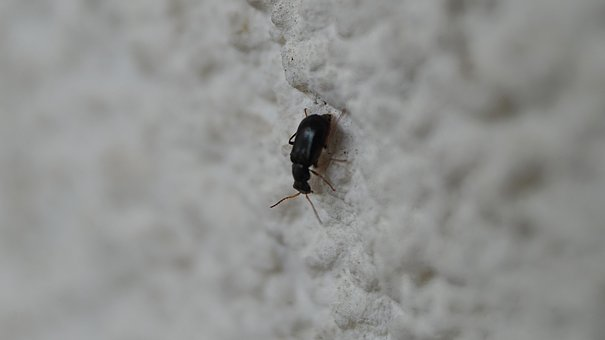 Beetle, Insect, Macro, Close