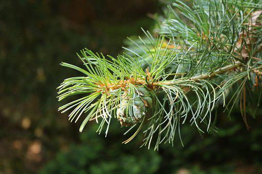 Conifer, Branch, Needles, Tap, Needle Branch