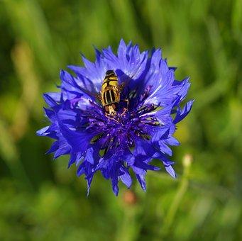 Flower, Cornflower, Blue, Blossom, Bloom, Wild Flower