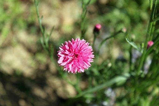 Field Flower, Meadow, Wild Flowers, Summer