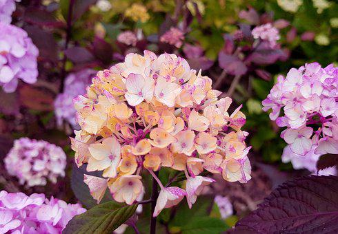 Hydrangea, Hydrangea Flower, Flowers, Botany, Flora