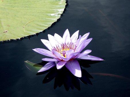 Purple, Lily, Pond, Plant, Flower, Nature, Floral