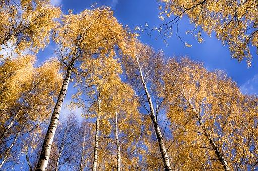 Birch, Forest, Sky, Wood, Nature, Finnish, Landscape