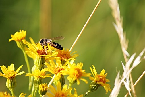 Bee, Flowers, Yellow, Sit, Sprinkle, Nectar, Insect