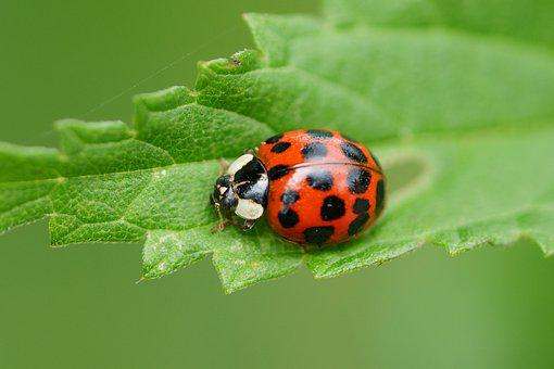 Ladybug, Red, Macro, Beetle, Ladybug Leaf