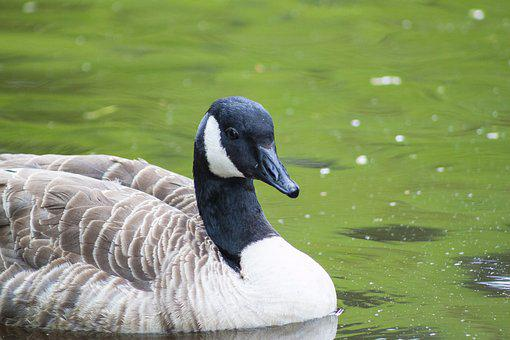 Bird, Goose, Nature, Wildlife, Poultry, Spring