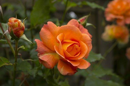 Rose, Flower, Blossom, Bloom, Nature, Garden, Plant