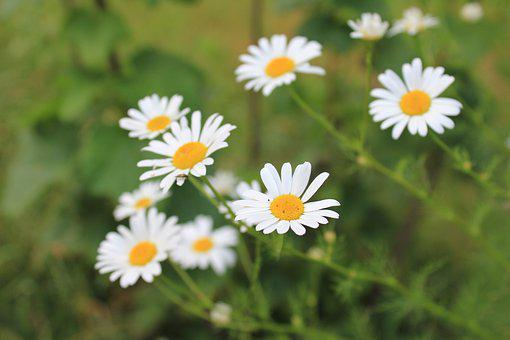 Daisies, Pointed Flower, White