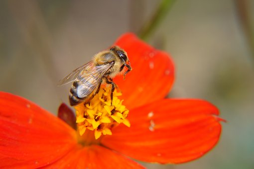 The Bee, Bee, Pollination, Flowers, Magnolias, Garden