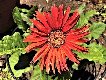 Red Flower, Bloom, Daisy, Garden, Green
