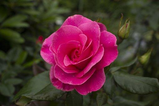 Rose, Flower, Red Rose, Red, Blossom, Bloom, Nature