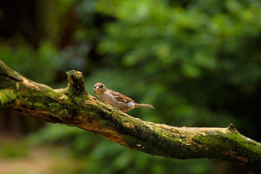Sparrow, Branch, Bird, Songbird, Nature, Sit, Plumage