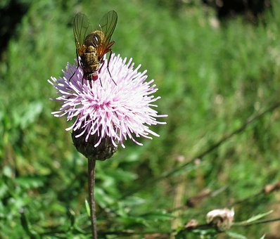 Fly, Thistle Flower, Nature, Blossom, Bloom