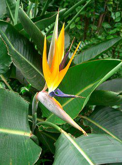 Flower, Bird Of Paradise, Tropical, Floral, Exotic