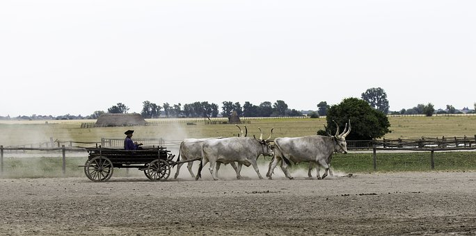 Hungarian Ox Cart, 4 In Hand, Yoked And Harnessed