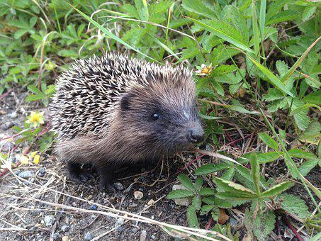 Hedgehog, Animals, Nature, Cute, Baby